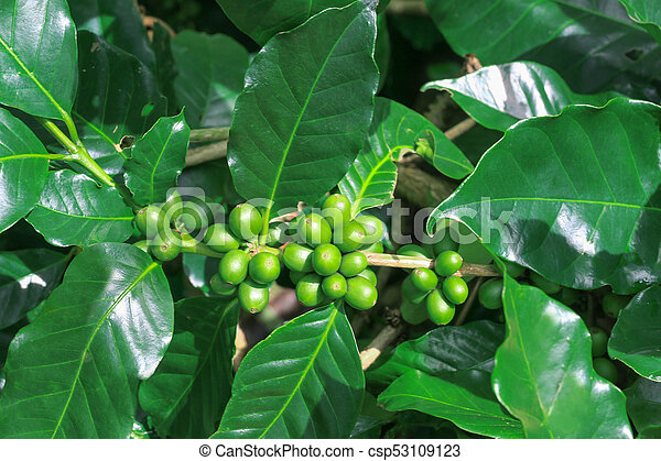 Green Coffee Beans Growing On Tree With Green Leaves