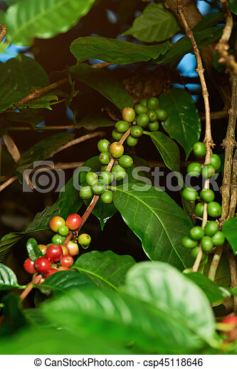 Green Coffee Beans On Tree Before Harvest
