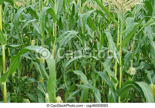Green corn field in agricultural garden - csp46059093