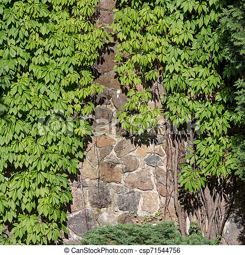 Green creeper on the old wall - csp71544756