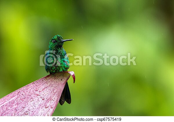 Green-crowned brilliant, Heliodoxa jacula sitting on leave, bird from mountain tropical forest, Panama, bird perching on leave, clear green background, resting hummingbird in natural environment, wild - csp67575419