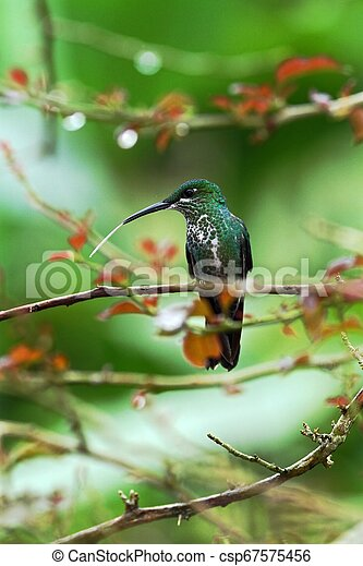 Green-crowned brilliant, Heliodoxa jacula sitting on leave, bird from mountain tropical forest, Panama, bird perching on leave, clear green background, resting hummingbird in natural environment, wild - csp67575456