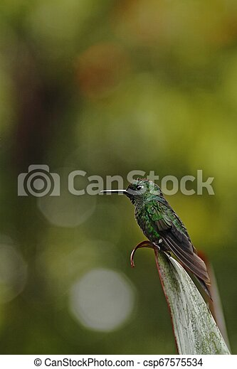 Green-crowned brilliant, Heliodoxa jacula sitting on leave, bird from mountain tropical forest, Panama, bird perching on leave, clear green background, resting hummingbird in natural environment, wild - csp67575534