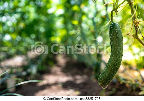 green cucumbers grown in a greenhouse on an organic farm - csp88251796