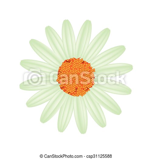 Green Daisy Flower on A White Background - csp31125588