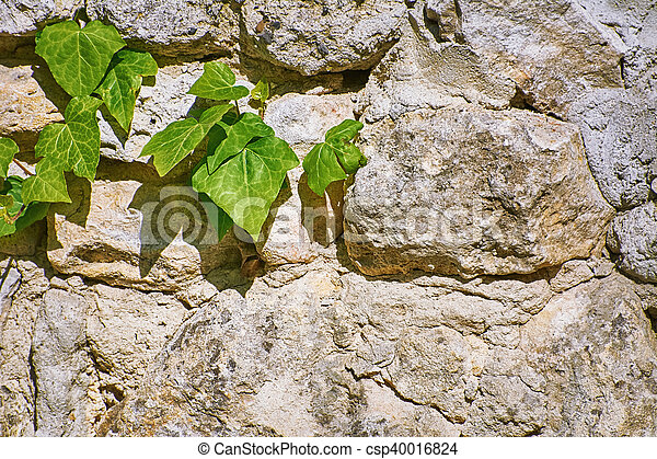 Green English Ivy - csp40016824