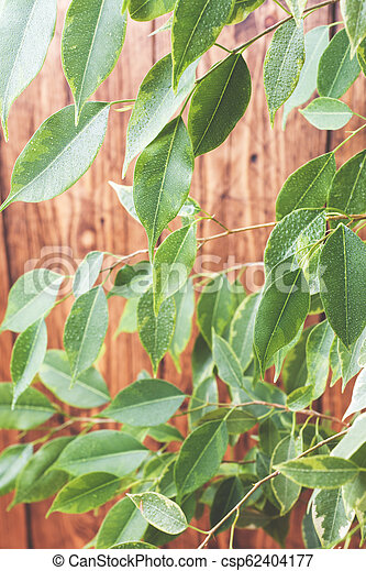 Green ficus leaves on a wooden wall background. - csp62404177
