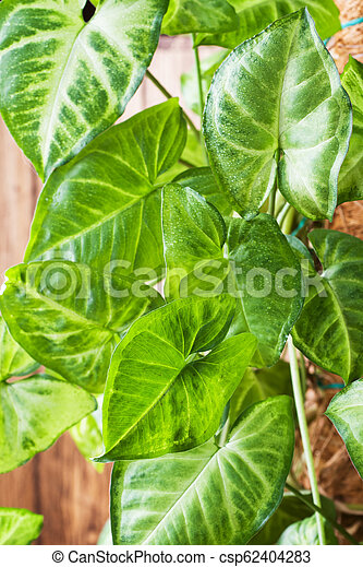 Green ficus leaves on a wooden wall background. - csp62404283