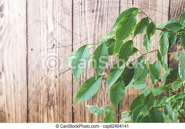 Green ficus leaves on a wooden wall background. - csp62404141