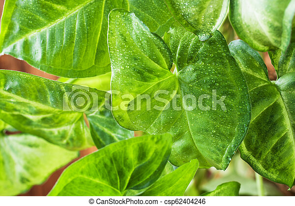 Green ficus leaves on a wooden wall background. - csp62404246