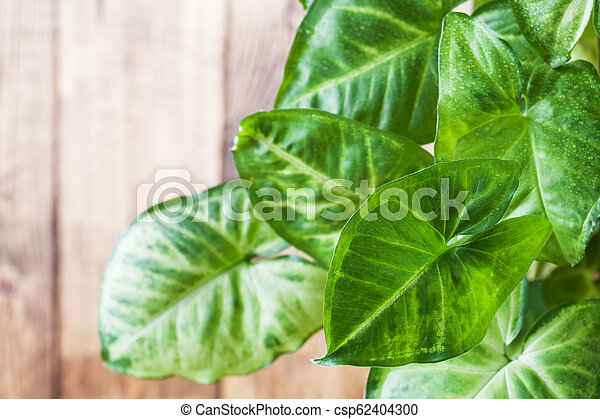 Green ficus leaves on a wooden wall background. - csp62404300