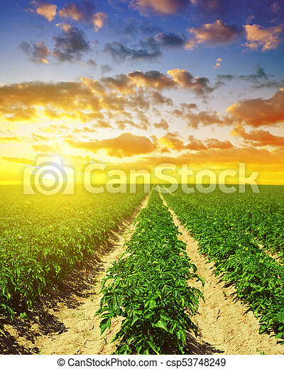 Green field of potato crops in a row. - csp53748249