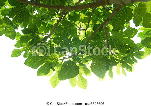 Green fig-tree leaves with branch - csp6828696