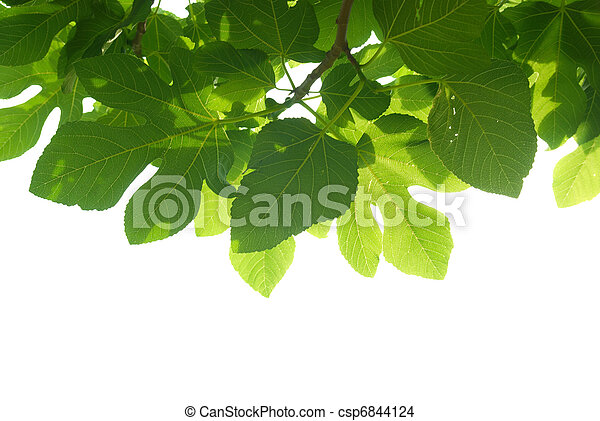 Green fig-tree leaves with branch - csp6844124