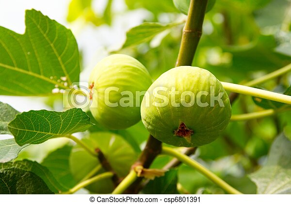 Green figs on the tree. - csp6801391
