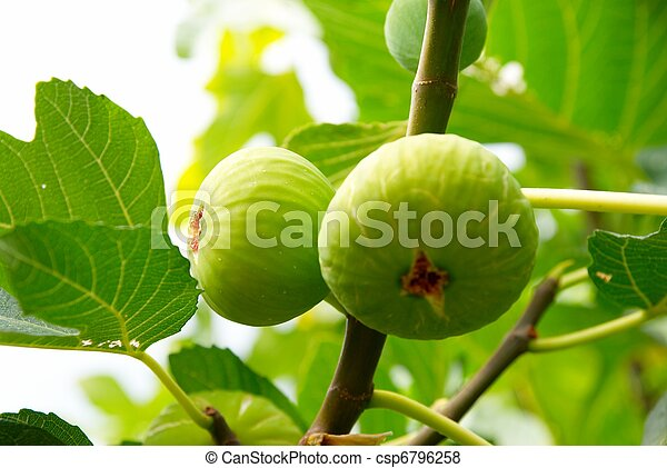 Green figs on the tree. - csp6796258