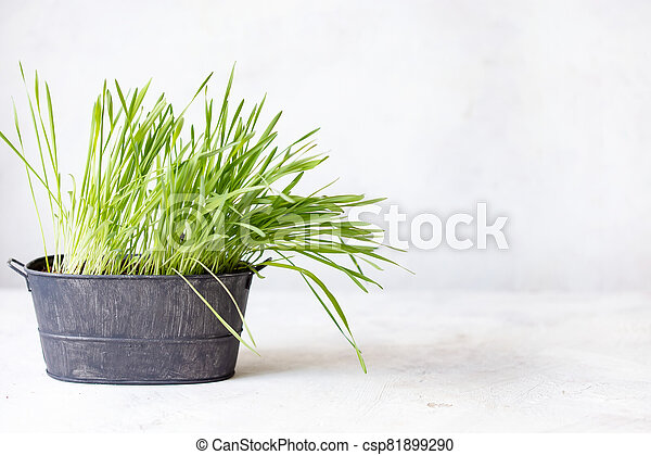 Green fresh sprouted grass in a pot on a white background - csp81899290