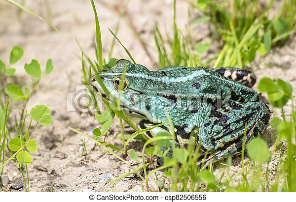 green frog basking in the sun sitting on the shore of a pond - csp82506556