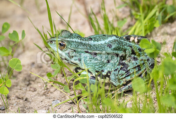 green frog basking in the sun sitting on the shore of a pond - csp82506522