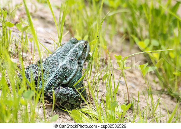 green frog basking in the sun sitting on the shore of a pond - csp82506526