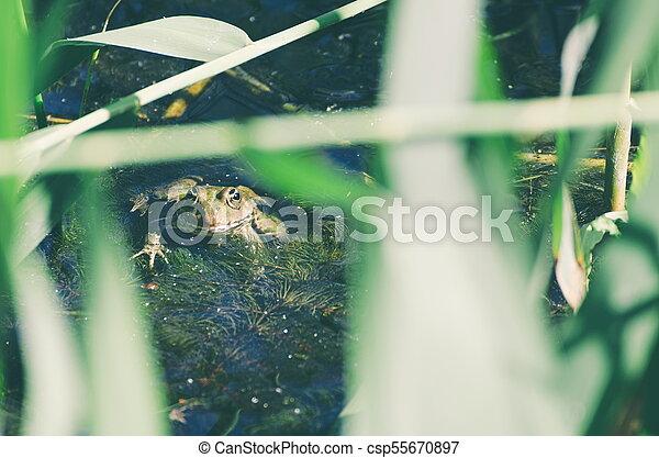 Green Frog in Marsh - csp55670897