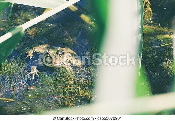 Green Frog in Marsh - csp55670901