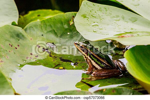 Green frog in pond under lotus leaf in morning light. - csp57073066