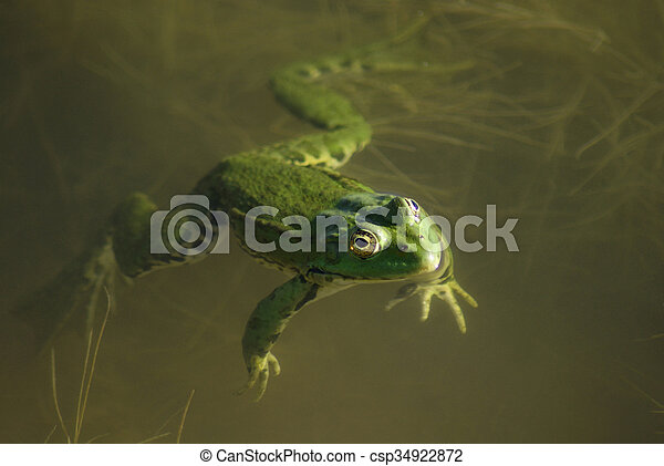Green frog in the still water - csp34922872