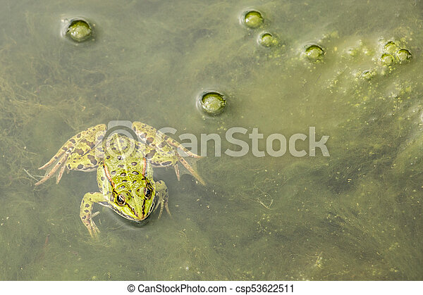 Green frog in the water full of frogspawn - csp53622511