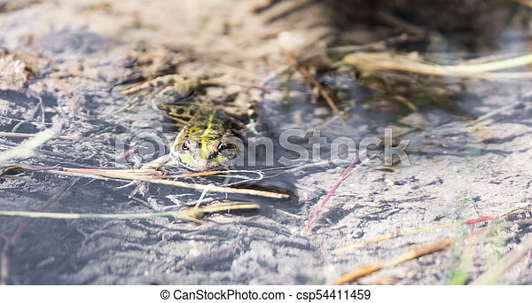 green frog in the water in nature - csp54411459
