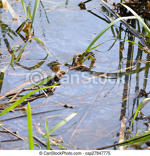 Green Frog in the Water - csp27847775