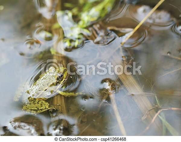 Green frog in the water - csp41266468