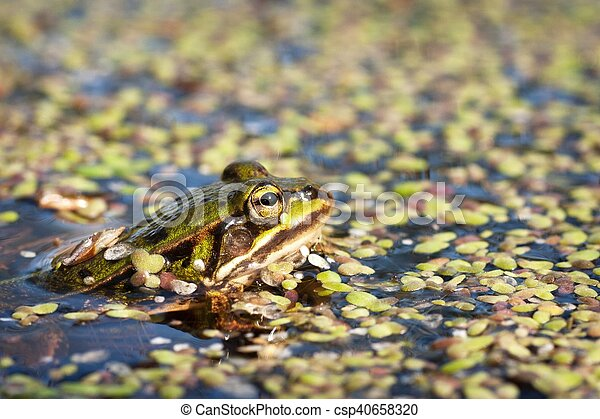 green frog in the water - csp40658320