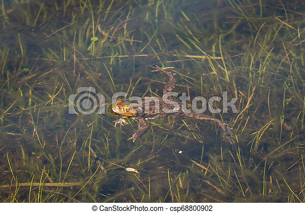 Green frog in the water - csp68800902