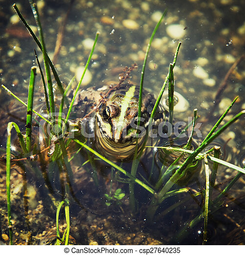 Green frog in the water - csp27640235