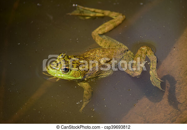 Green frog in the water, view from above - csp39693812