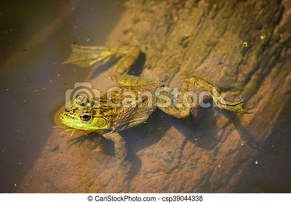 Green frog in the water, view from above - csp39044338