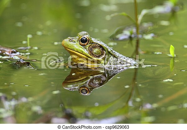 Green Frog (Rana clamitans) in a Pond - csp9629063
