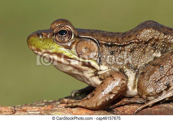 Green Frog (Rana clamitans) - csp46157675