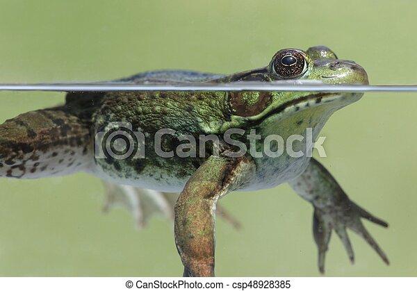 Green Frog (Rana clamitans) - csp48928385