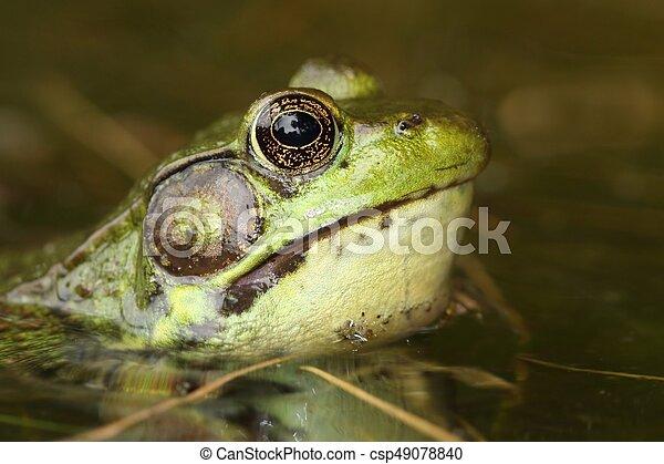 Green Frog (Rana clamitans) - csp49078840