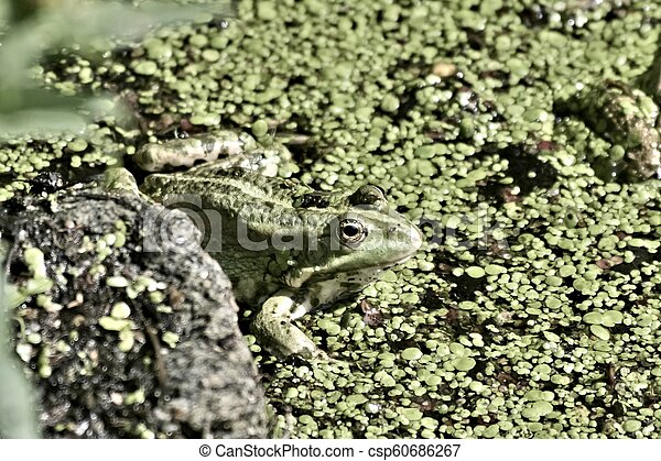 green frog sitting in the water - csp60686267