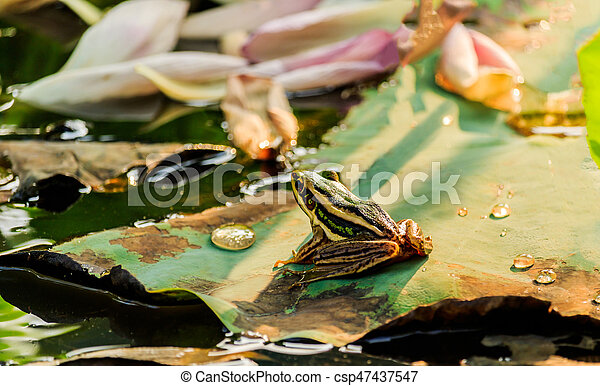Green frog sitting on lotus leaf in a pond at sunset - csp47437547