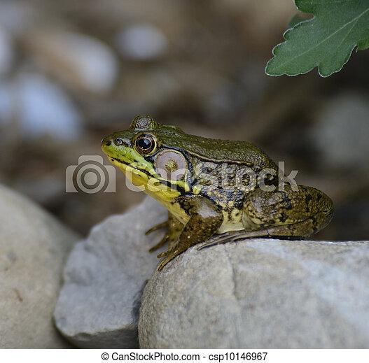 Green Frog - csp10146967