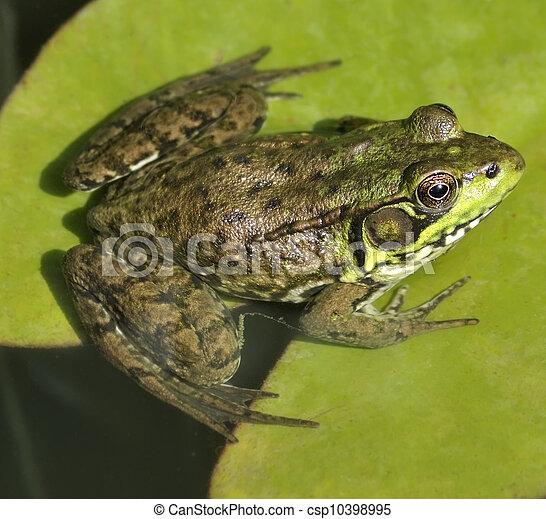 Green Frog - csp10398995