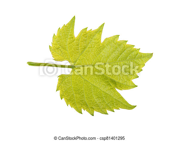 Green grape leaf on a white background, isolated. - csp81401295