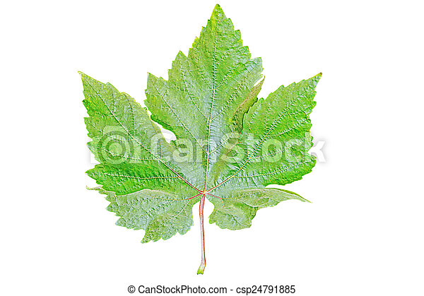 Green grape leaf. - csp24791885