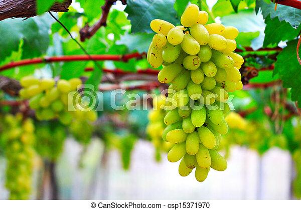 Green grapes on vine - csp15371970