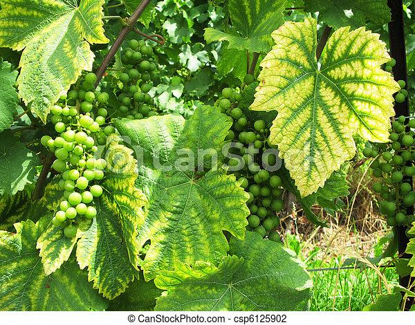Green grapes - csp6125902
