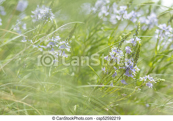 Green grass and tender blue flowers in the field - csp52592219